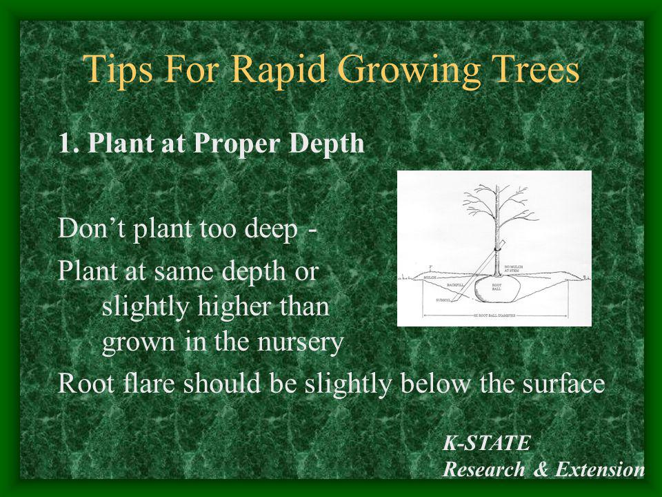 K-STATE Research & Extension Tips For Rapid Growing Trees 1. Plant at Proper Depth Dont plant too deep - Plant at same depth or slightly higher than g