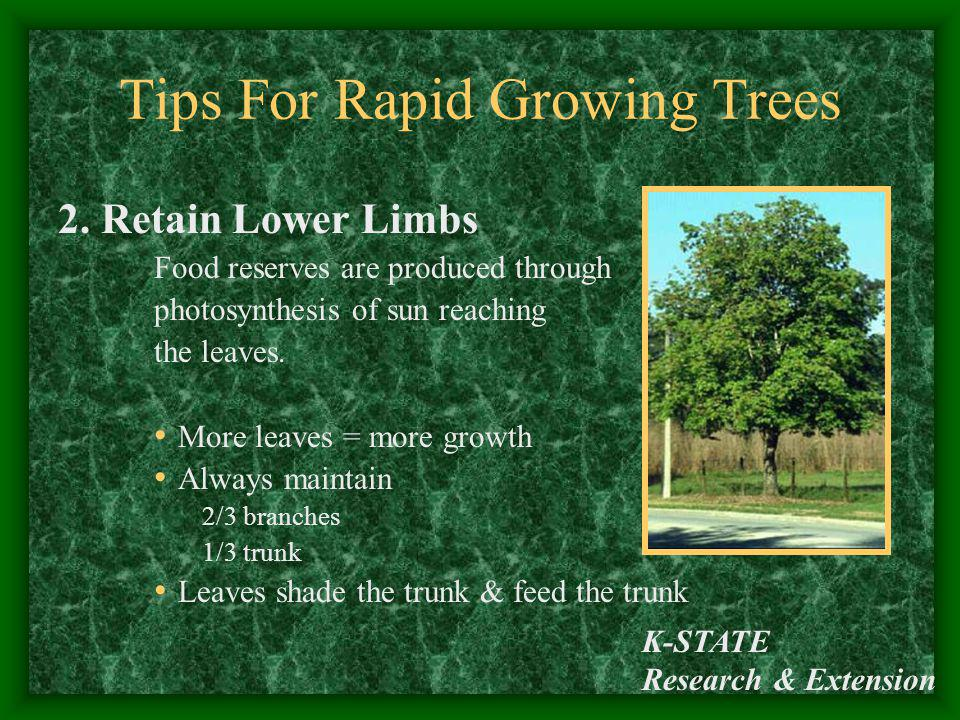 K-STATE Research & Extension Tips For Rapid Growing Trees 2. Retain Lower Limbs Food reserves are produced through photosynthesis of sun reaching the