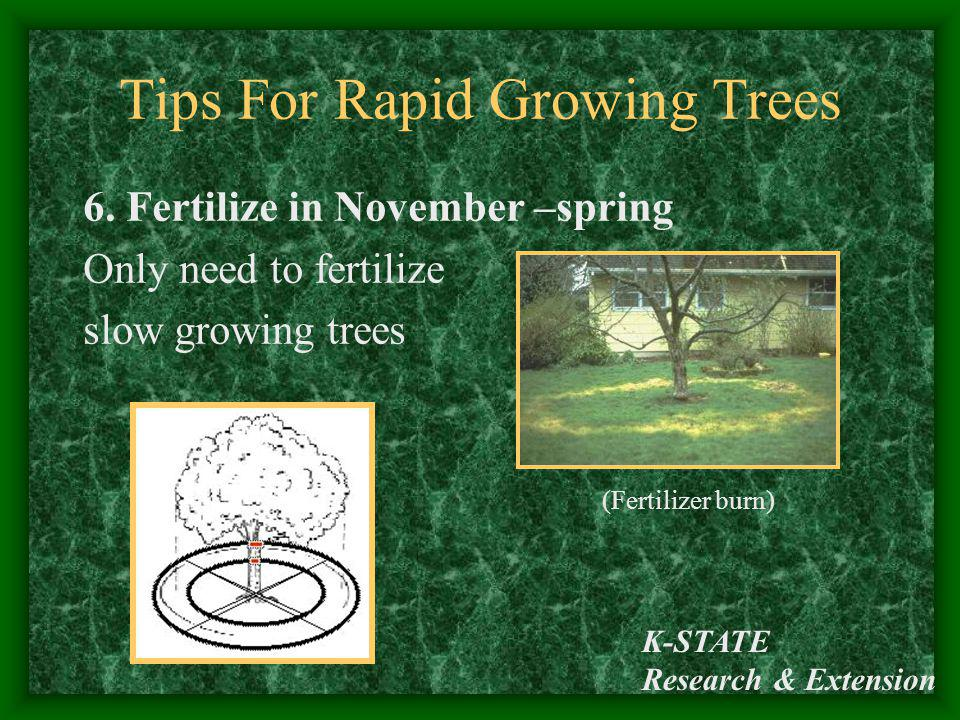 K-STATE Research & Extension Tips For Rapid Growing Trees 6. Fertilize in November –spring Only need to fertilize slow growing trees (Fertilizer burn)