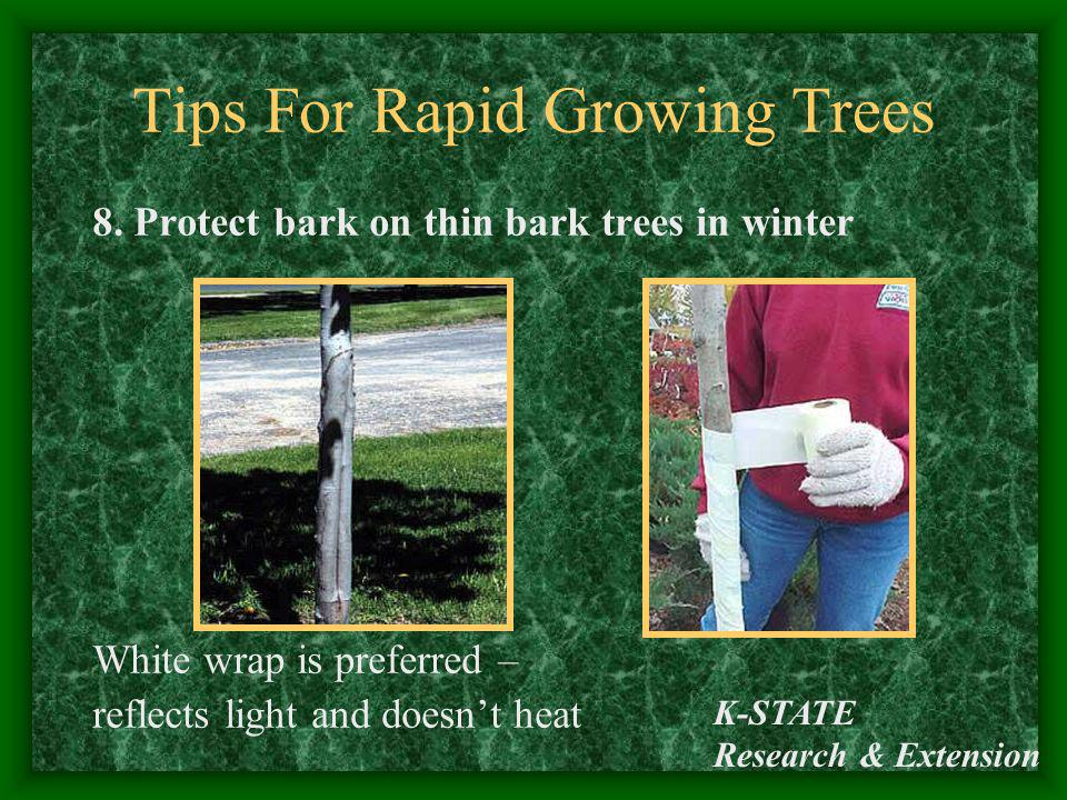 K-STATE Research & Extension Tips For Rapid Growing Trees 8. Protect bark on thin bark trees in winter White wrap is preferred – reflects light and do
