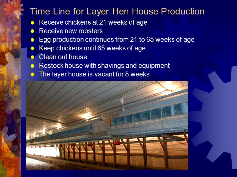 Time Line for Layer Hen House Production Receive chickens at 21 weeks of age Receive new roosters Egg production continues from 21 to 65 weeks of age