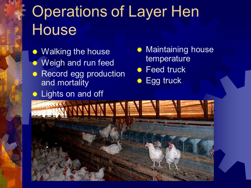 Operations of Layer Hen House Walking the house Weigh and run feed Record egg production and mortality Lights on and off Maintaining house temperature
