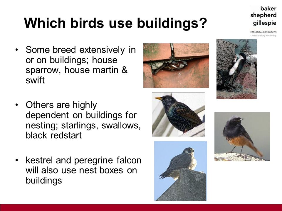 Which birds use buildings? Some breed extensively in or on buildings; house sparrow, house martin & swift Others are highly dependent on buildings for