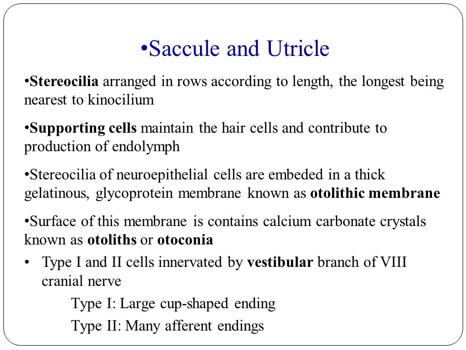 Saccule and Utricle Stereocilia arranged in rows according to length, the longest being nearest to kinocilium Supporting cells maintain the hair cells