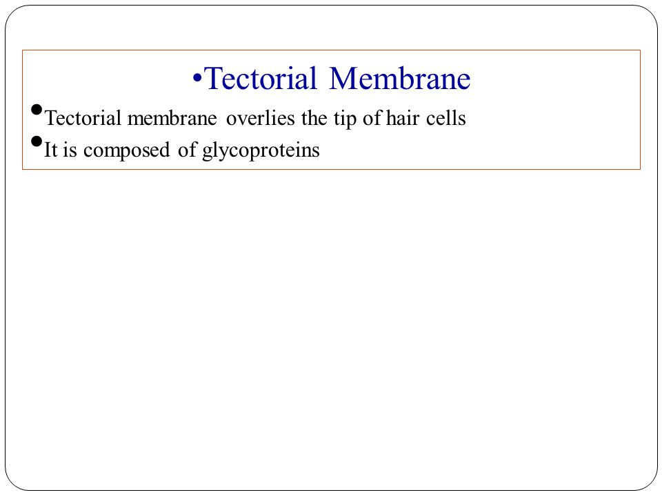 Tectorial Membrane Tectorial membrane overlies the tip of hair cells It is composed of glycoproteins