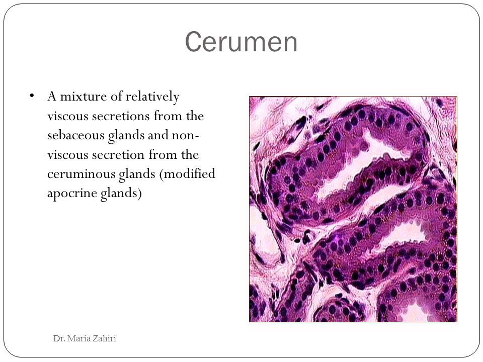 Cerumen A mixture of relatively viscous secretions from the sebaceous glands and non- viscous secretion from the ceruminous glands (modified apocrine glands) Dr.