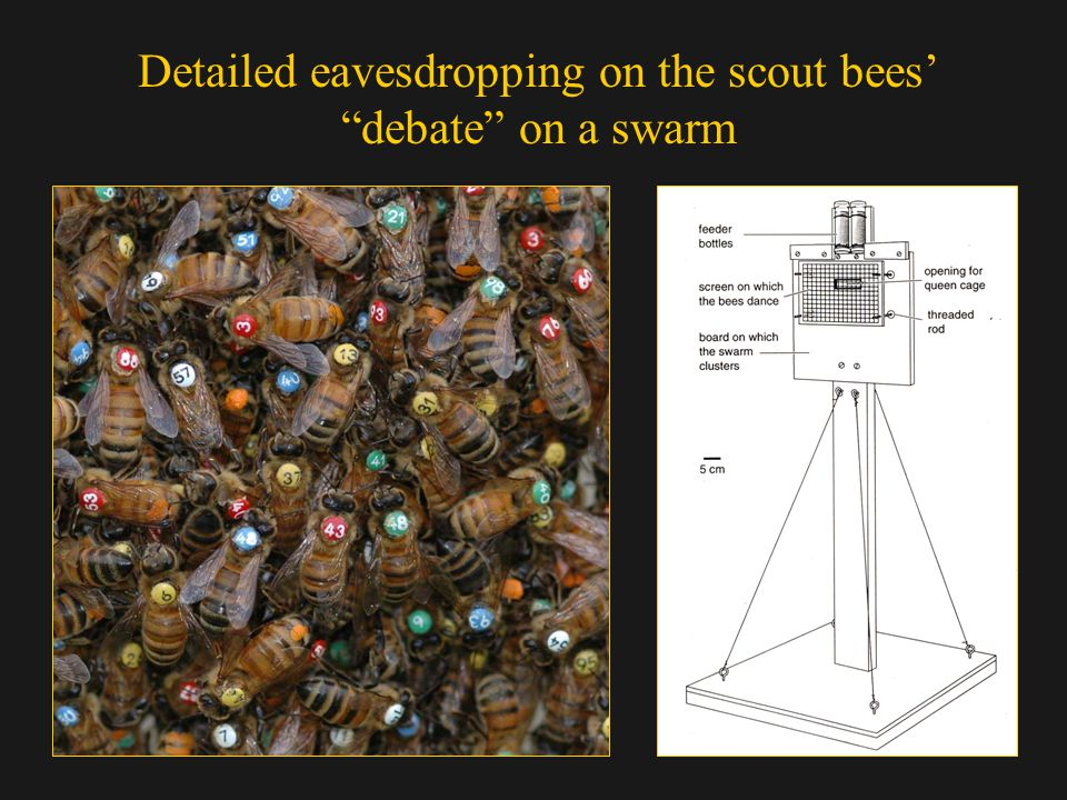 Detailed eavesdropping on the scout bees debate on a swarm