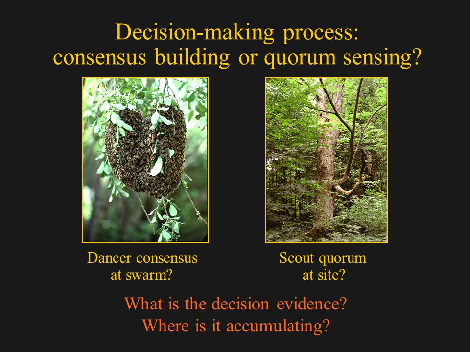 Decision-making process: consensus building or quorum sensing? Dancer consensus Scout quorum at swarm? at site? What is the decision evidence? Where i