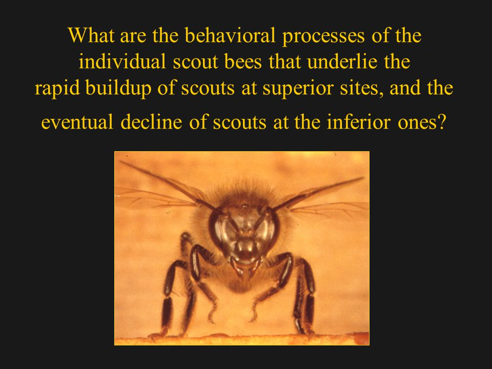 What are the behavioral processes of the individual scout bees that underlie the rapid buildup of scouts at superior sites, and the eventual decline of scouts at the inferior ones?