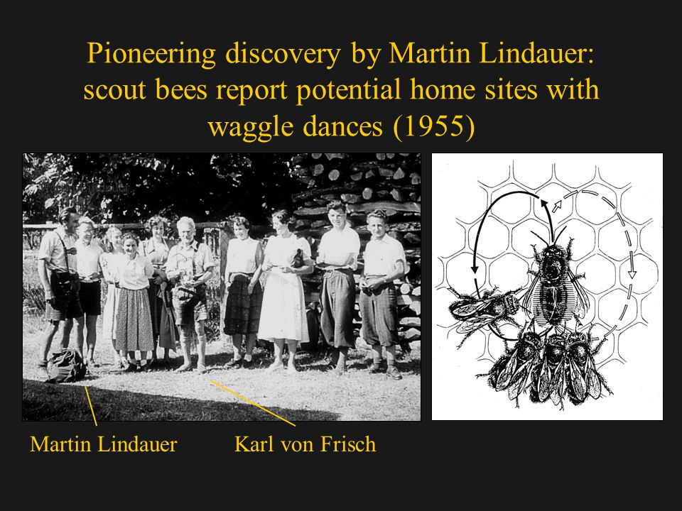 Pioneering discovery by Martin Lindauer: scout bees report potential home sites with waggle dances (1955) Martin LindauerKarl von Frisch
