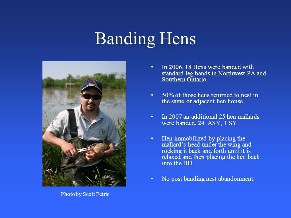 Banding Hens In 2006, 18 Hens were banded with standard leg bands in Northwest PA and Southern Ontario.