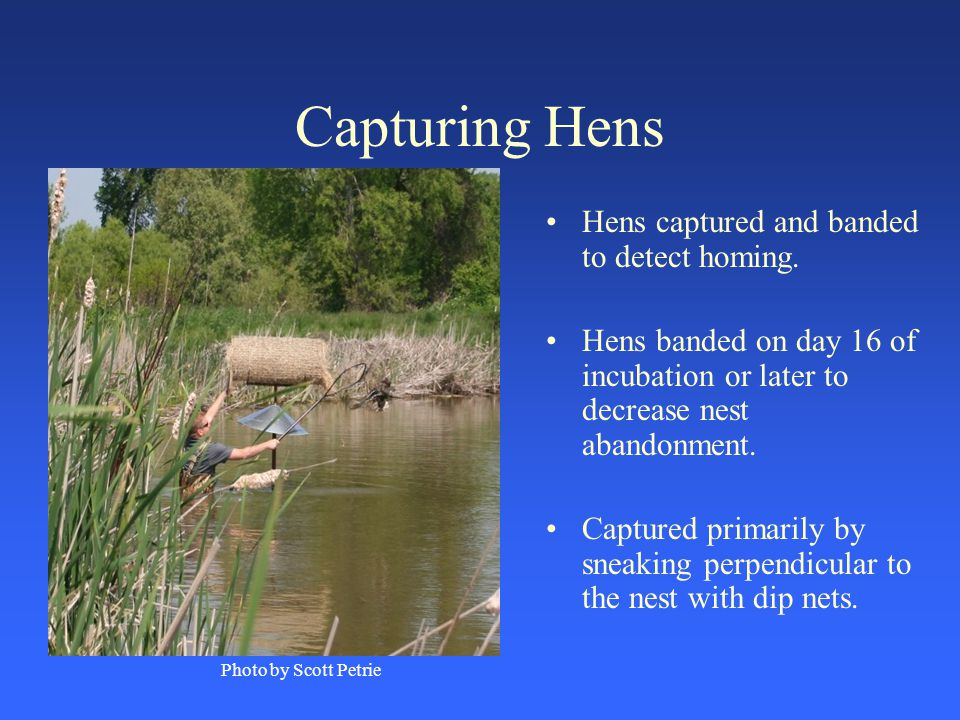 Capturing Hens Hens captured and banded to detect homing.