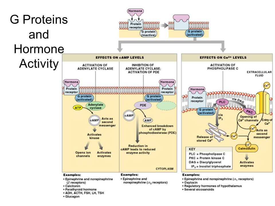 Figure 18–3 G Proteins and Hormone Activity
