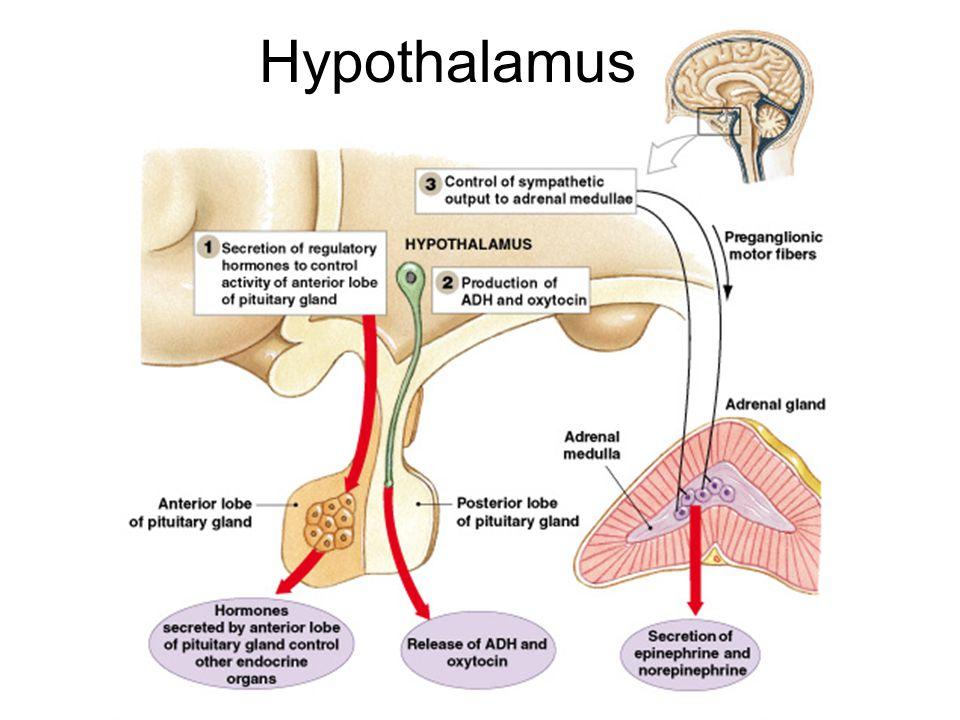 Figure 18–5 Hypothalamus