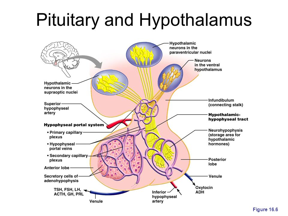 Pituitary and Hypothalamus Figure 16.6