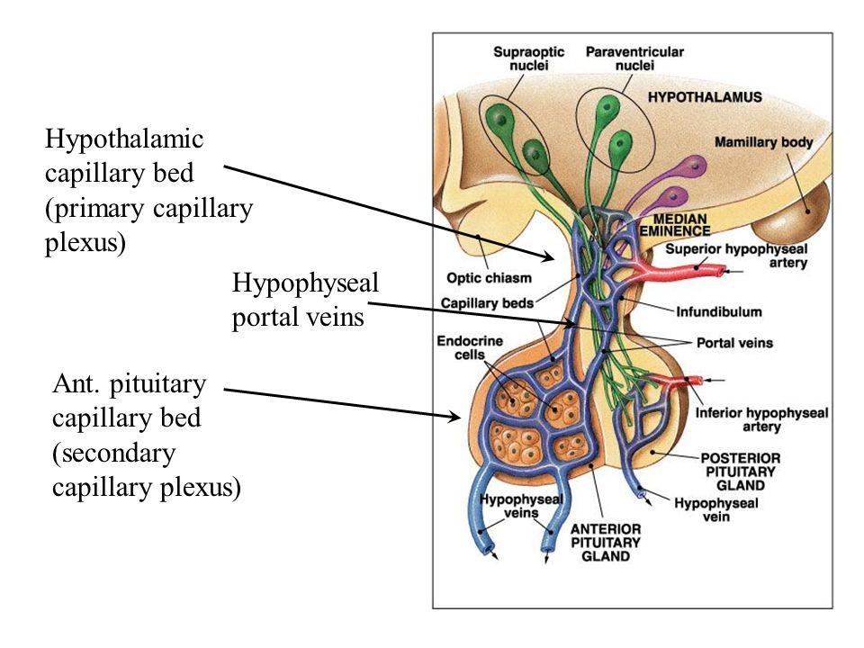 Hypothalamic capillary bed (primary capillary plexus) Ant. pituitary capillary bed (secondary capillary plexus) Hypophyseal portal veins