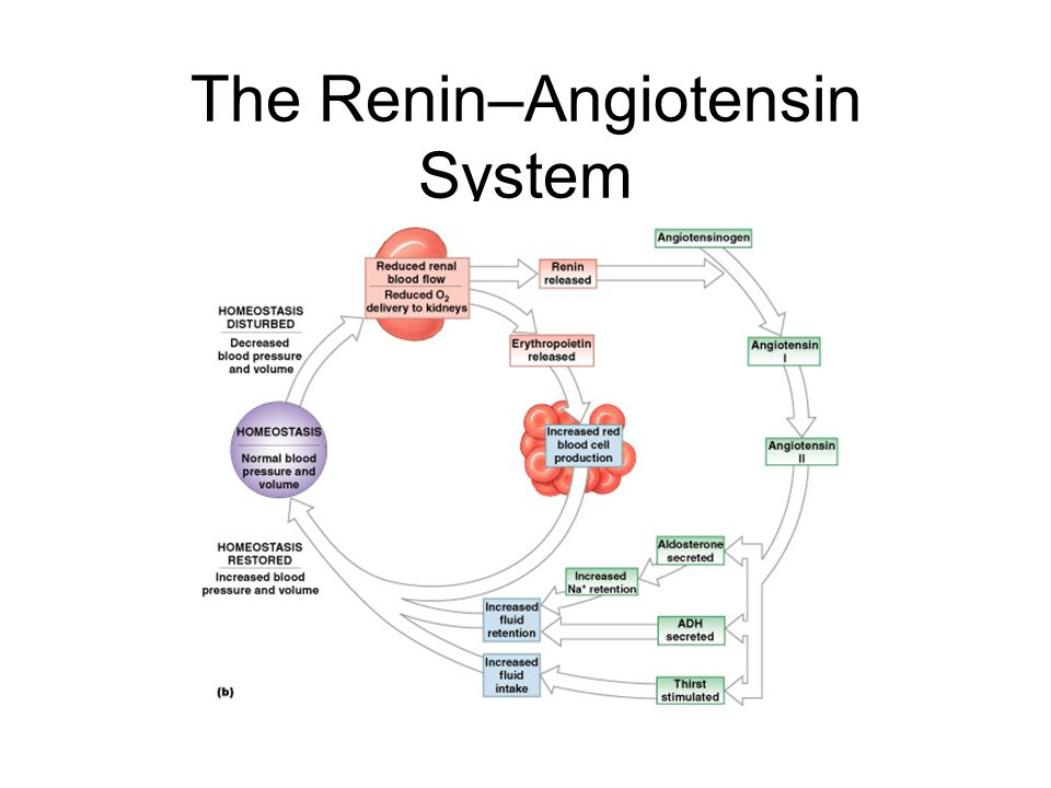 The Renin–Angiotensin System Figure 18–17b