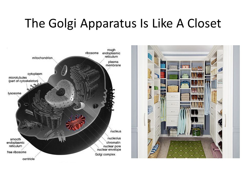 The Golgi Apparatus Is Like A Closet