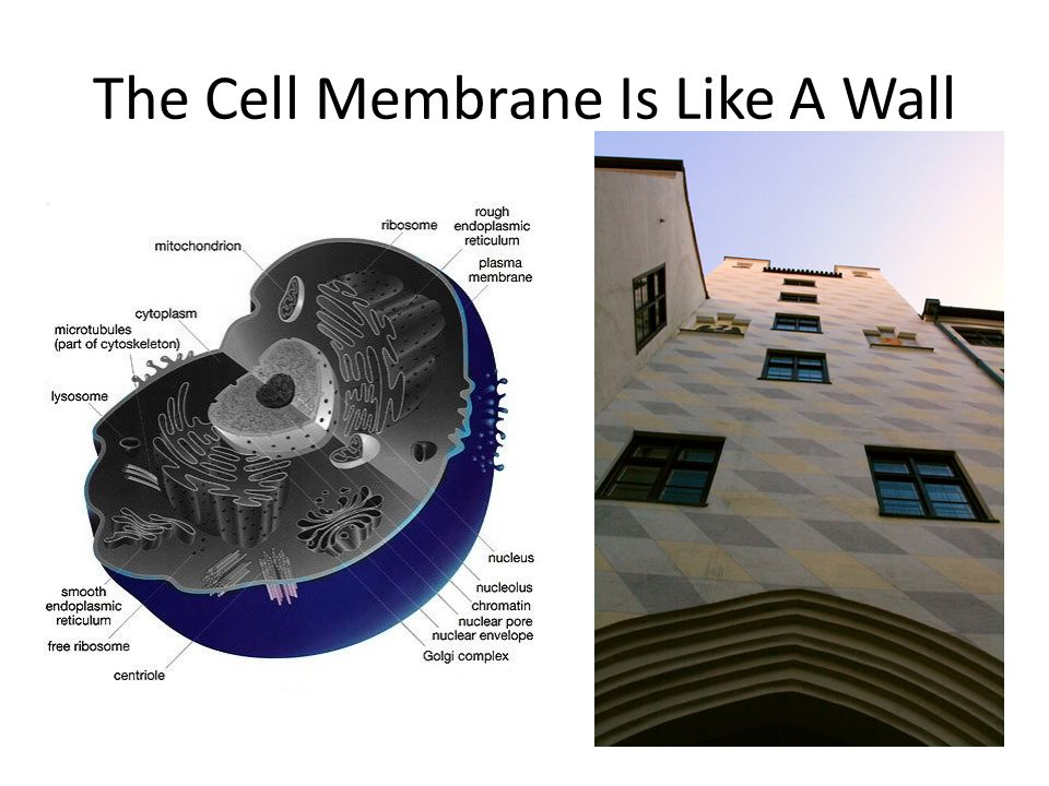 The Cell Membrane Is Like A Wall