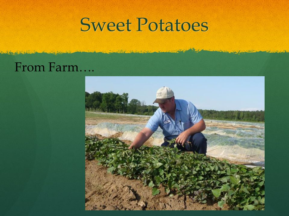 Sweet Potatoes From Farm….