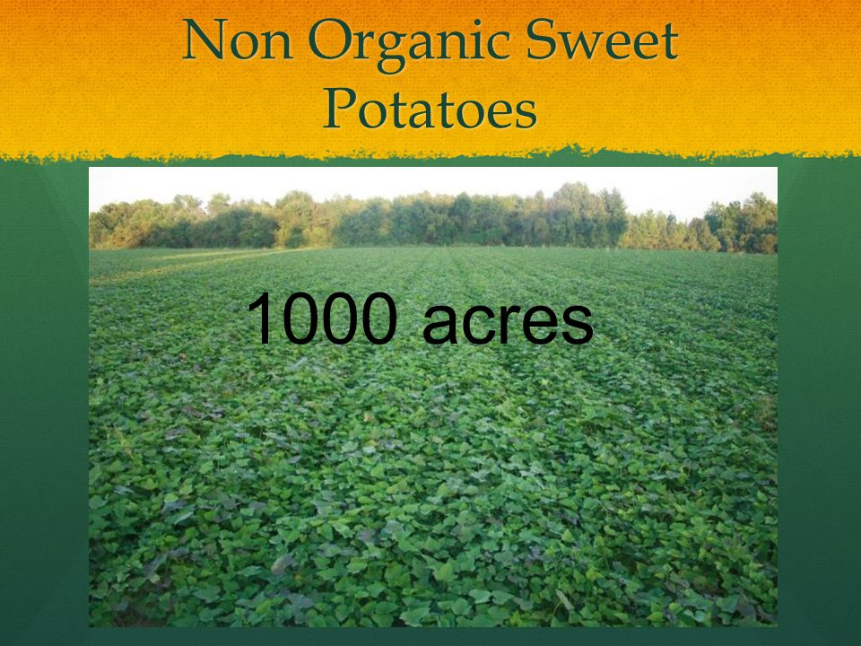 Non Organic Sweet Potatoes 1000 acres