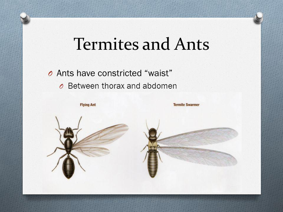 Termites and Ants O Ants have constricted waist O Between thorax and abdomen