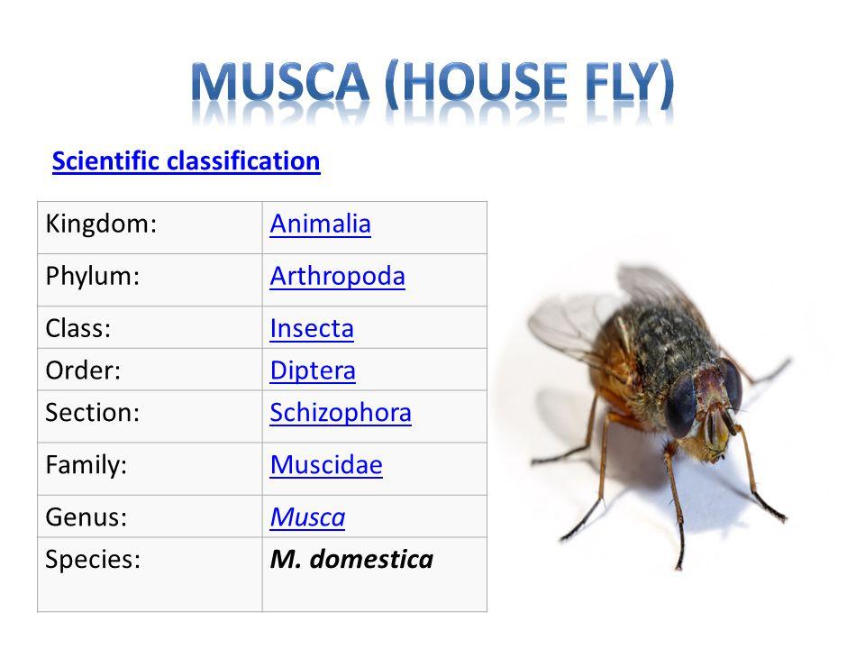 Scientific classification Kingdom:Animalia Phylum:Arthropoda Class:Insecta Order:Diptera Section:Schizophora Family:Muscidae Genus:Musca Species:M.