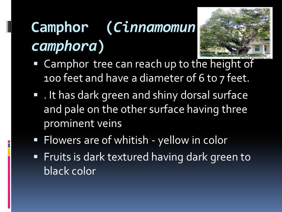 Camphor (Cinnamomun camphora) Camphor tree can reach up to the height of 100 feet and have a diameter of 6 to 7 feet.. It has dark green and shiny dor
