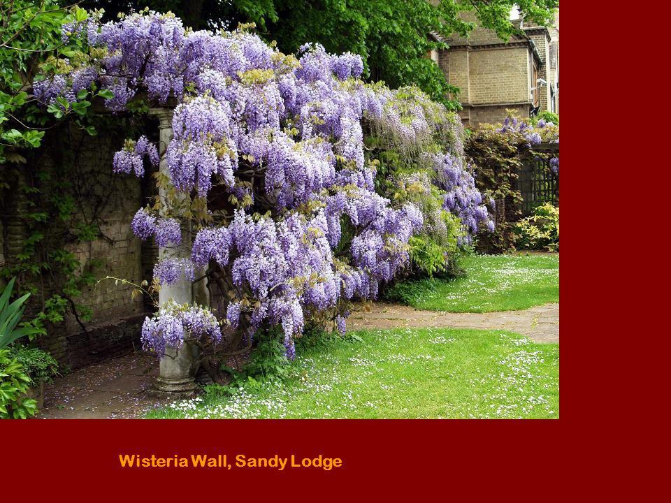 Wisteria Wall, Sandy Lodge