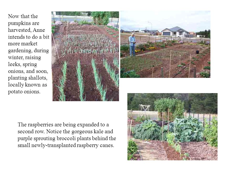 Now that the pumpkins are harvested, Anne intends to do a bit more market gardening, during winter, raising leeks, spring onions, and soon, planting shallots, locally known as potato onions.