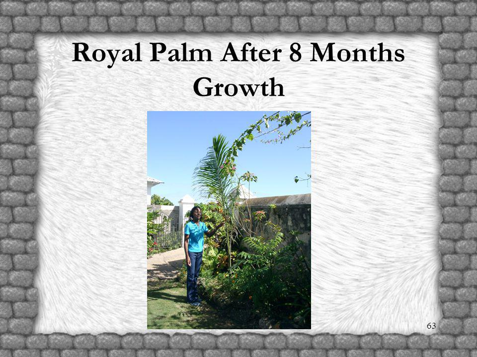 62 Planting Royal Palm Tree – two hundred planted to date