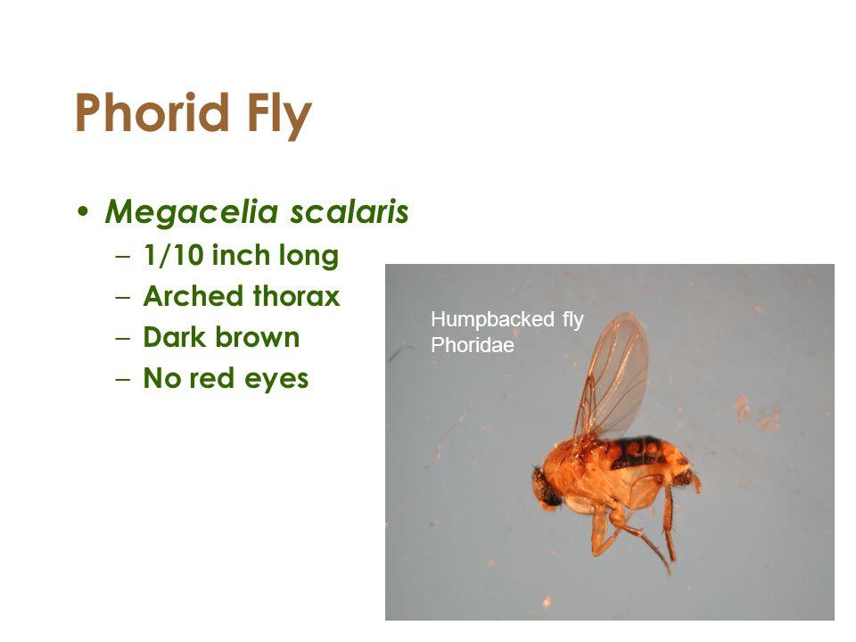 Phorid Fly Megacelia scalaris – 1/10 inch long – Arched thorax – Dark brown – No red eyes Humpbacked fly Phoridae