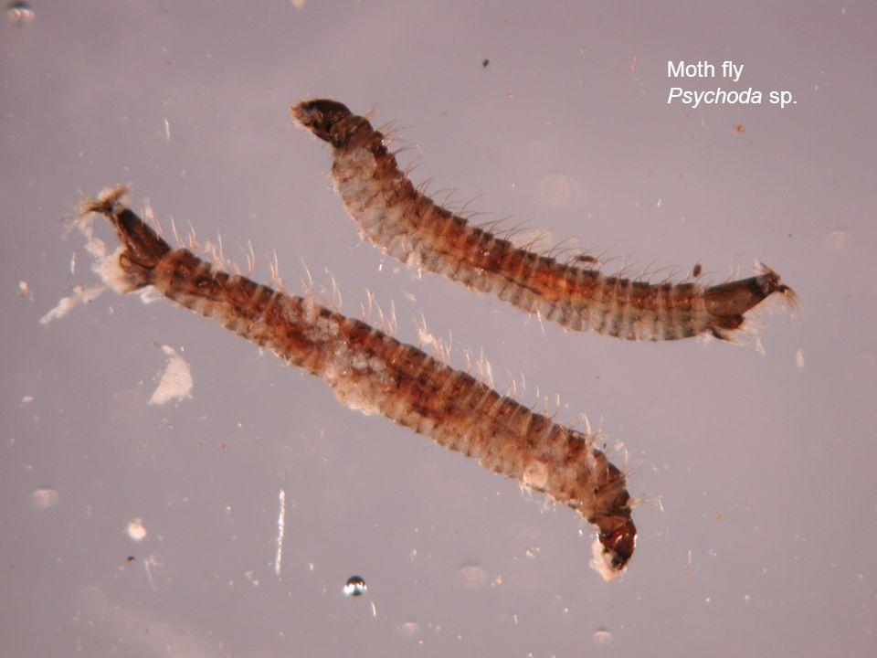Moth fly Psychoda sp.