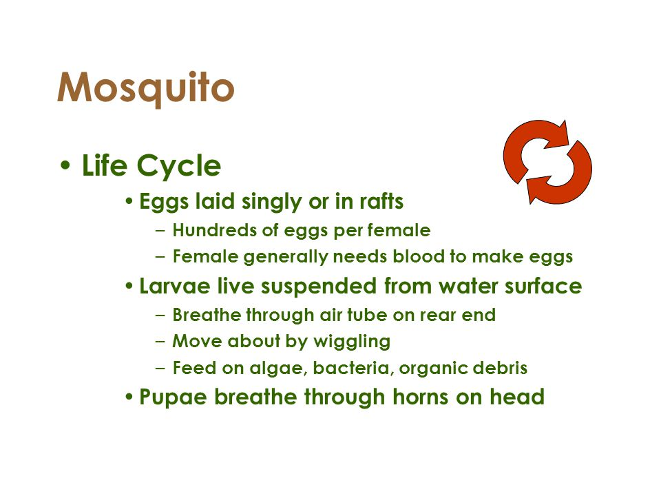 Mosquito Life Cycle Eggs laid singly or in rafts – Hundreds of eggs per female – Female generally needs blood to make eggs Larvae live suspended from