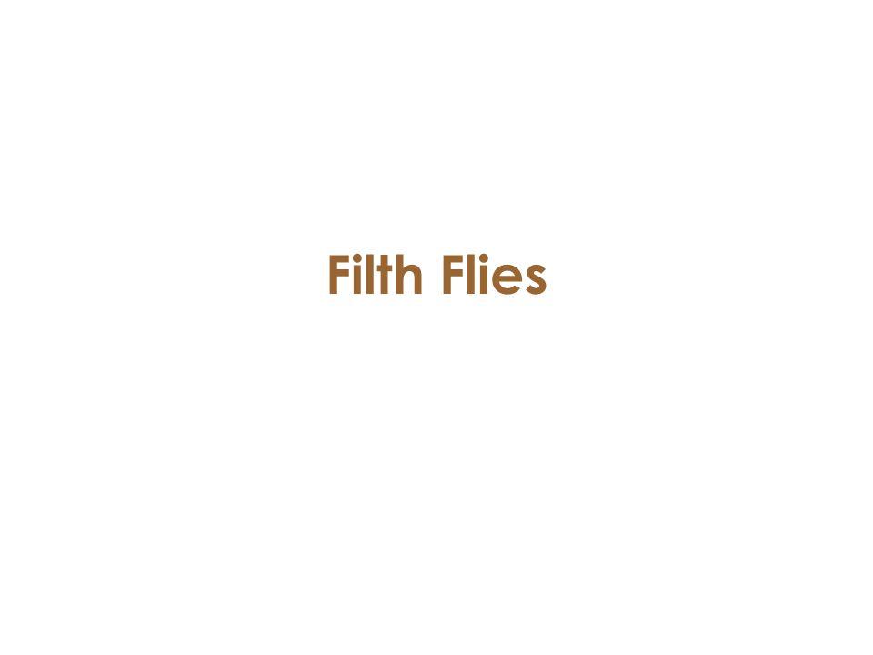 Filth Flies