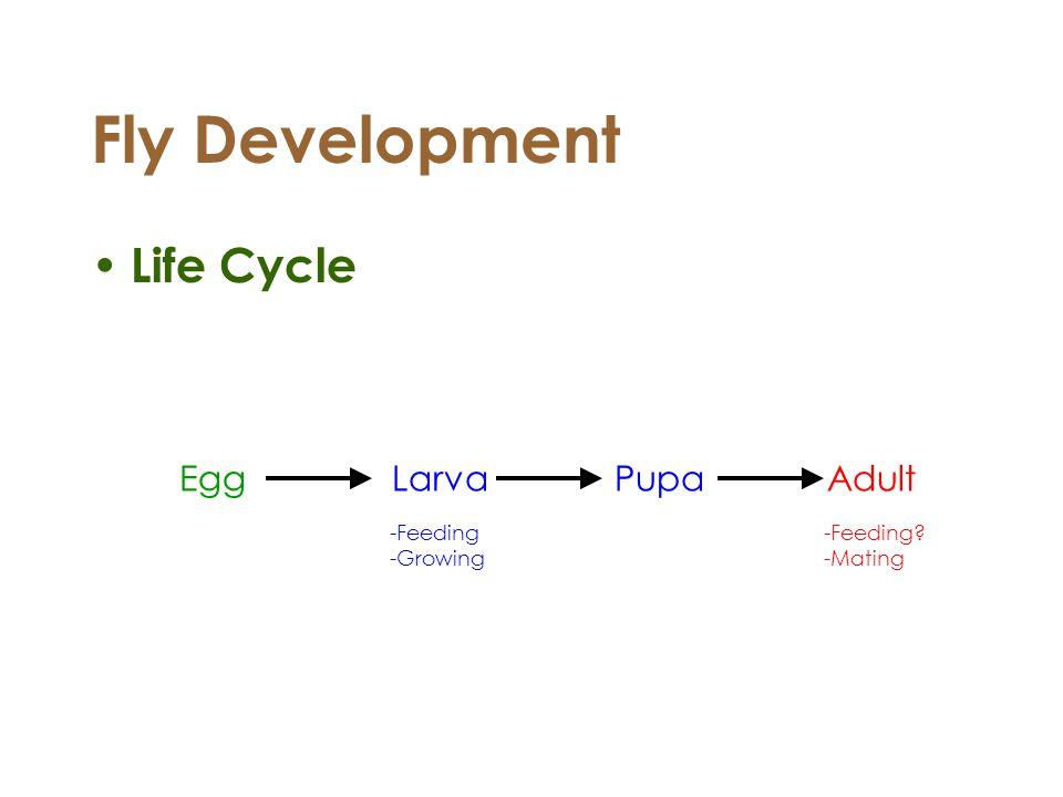 Fly Development Life Cycle EggLarva Pupa Adult -Feeding -Growing -Feeding? -Mating
