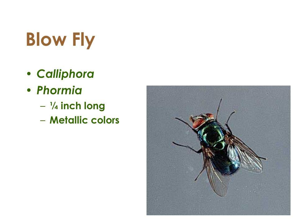 Blow Fly Calliphora Phormia – ¼ inch long – Metallic colors