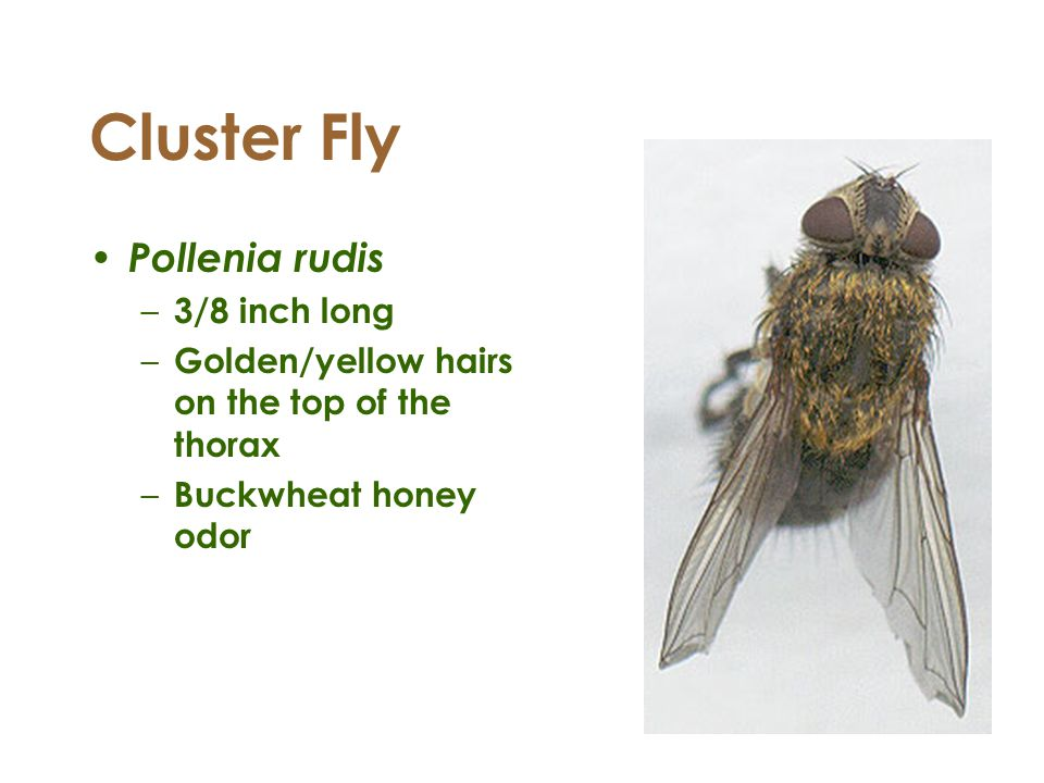 Cluster Fly Pollenia rudis – 3/8 inch long – Golden/yellow hairs on the top of the thorax – Buckwheat honey odor