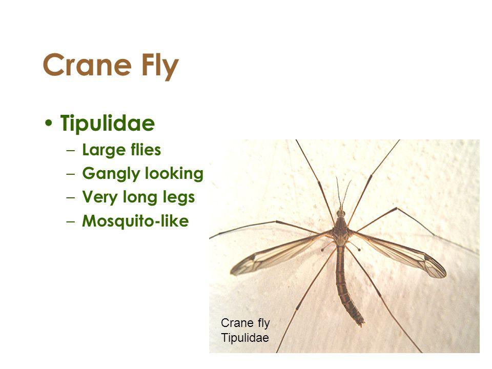 Crane Fly Tipulidae – Large flies – Gangly looking – Very long legs – Mosquito-like Crane fly Tipulidae