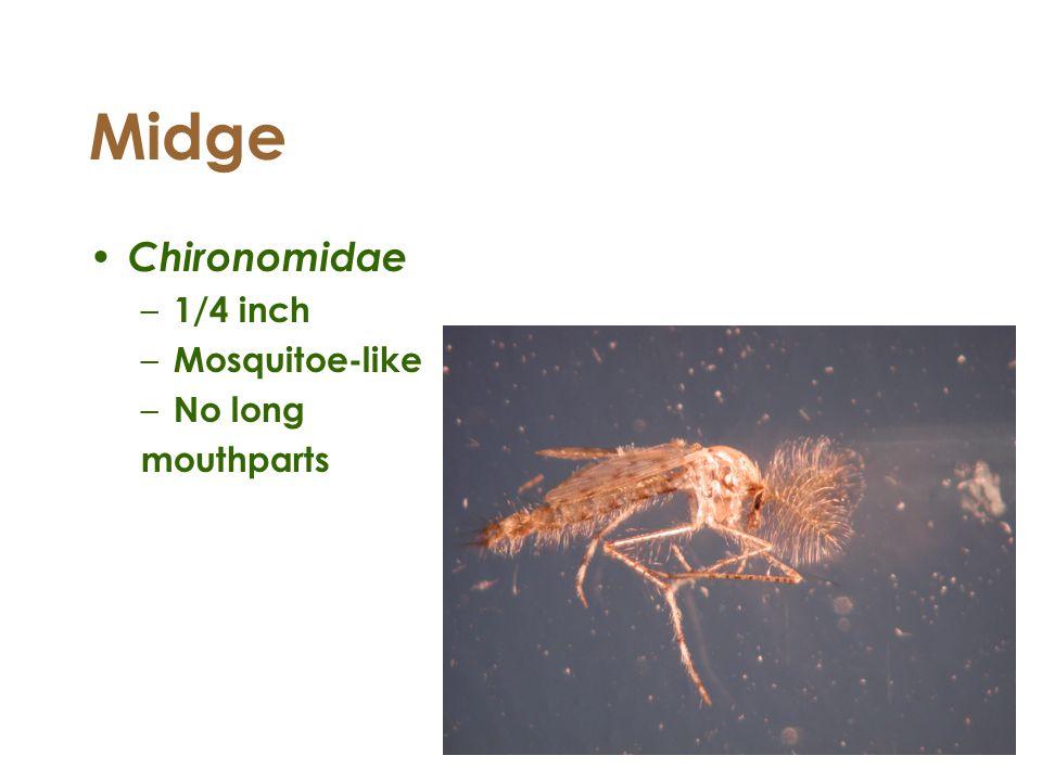Midge Chironomidae – 1/4 inch – Mosquitoe-like – No long mouthparts
