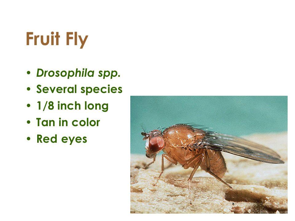 Fruit Fly Drosophila spp. Several species 1/8 inch long Tan in color Red eyes