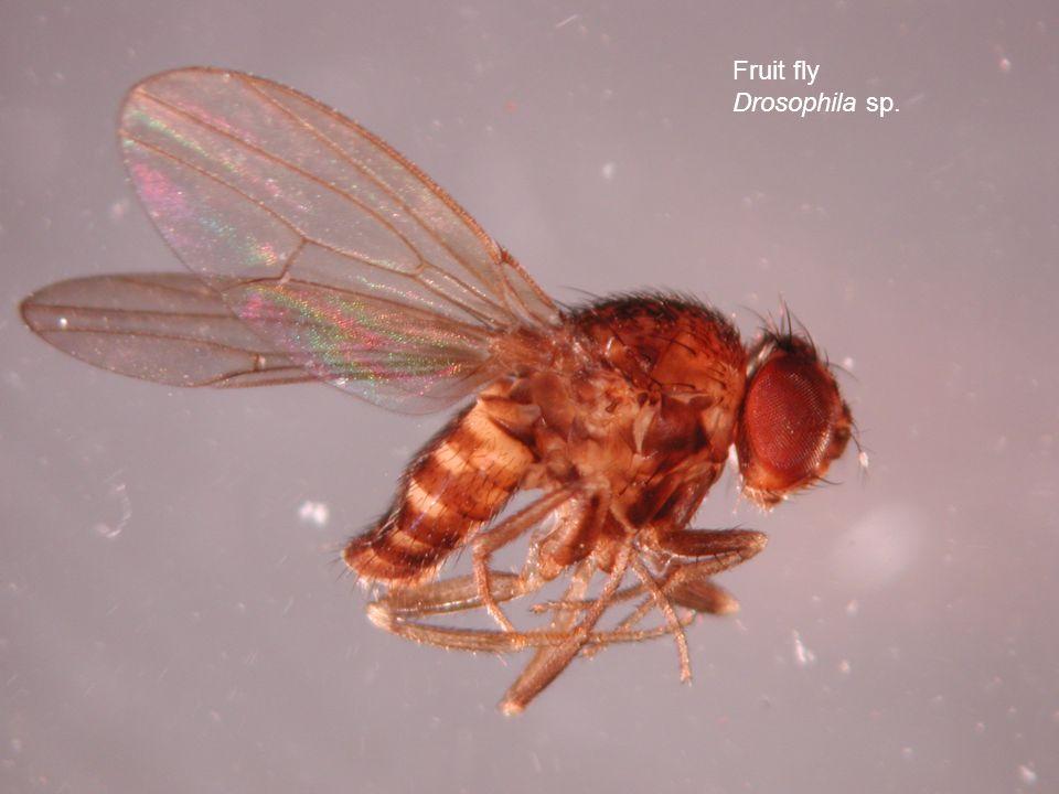 Fruit fly Drosophila sp.