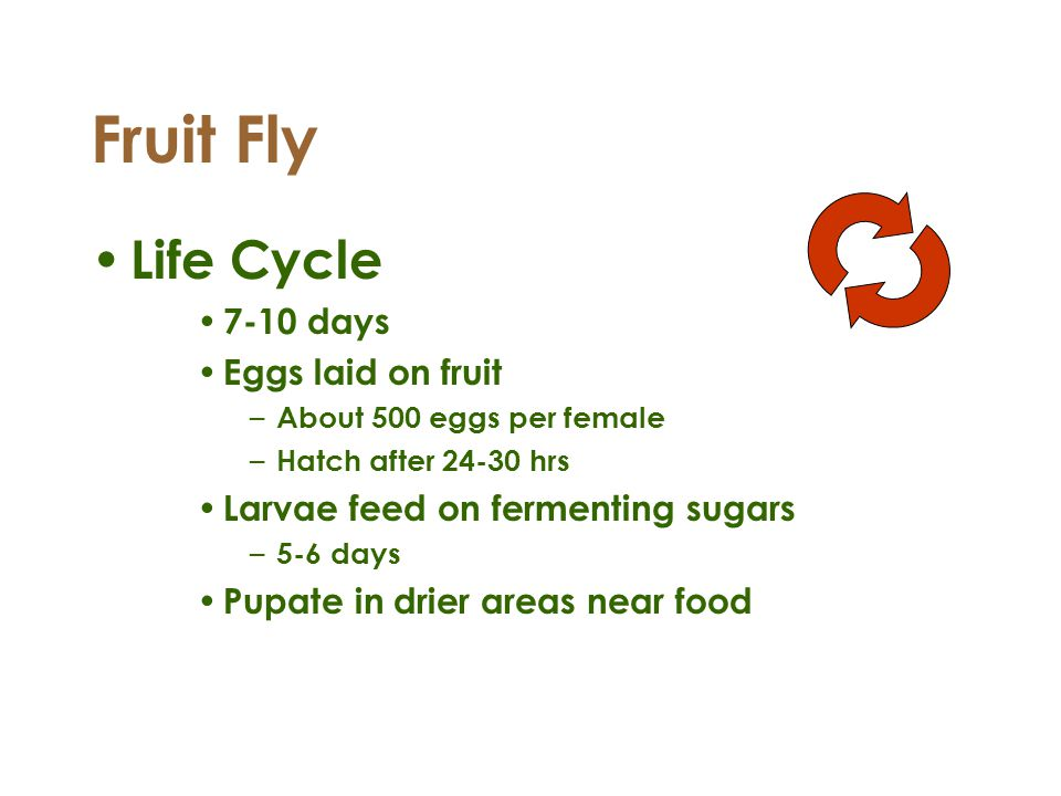 Fruit Fly Life Cycle 7-10 days Eggs laid on fruit – About 500 eggs per female – Hatch after 24-30 hrs Larvae feed on fermenting sugars – 5-6 days Pupa