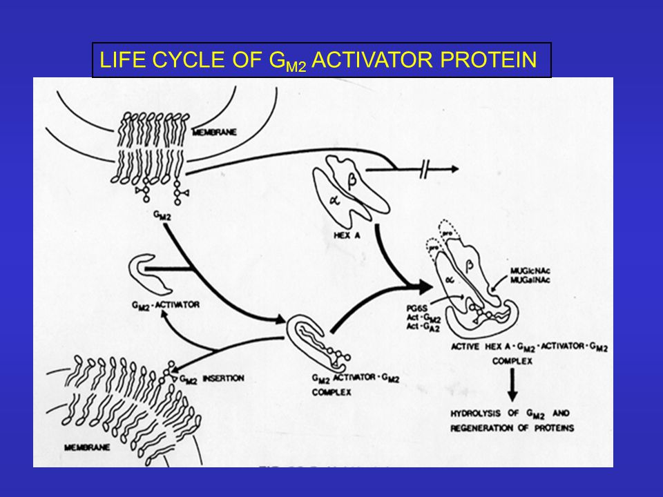 LIFE CYCLE OF G M2 ACTIVATOR PROTEIN
