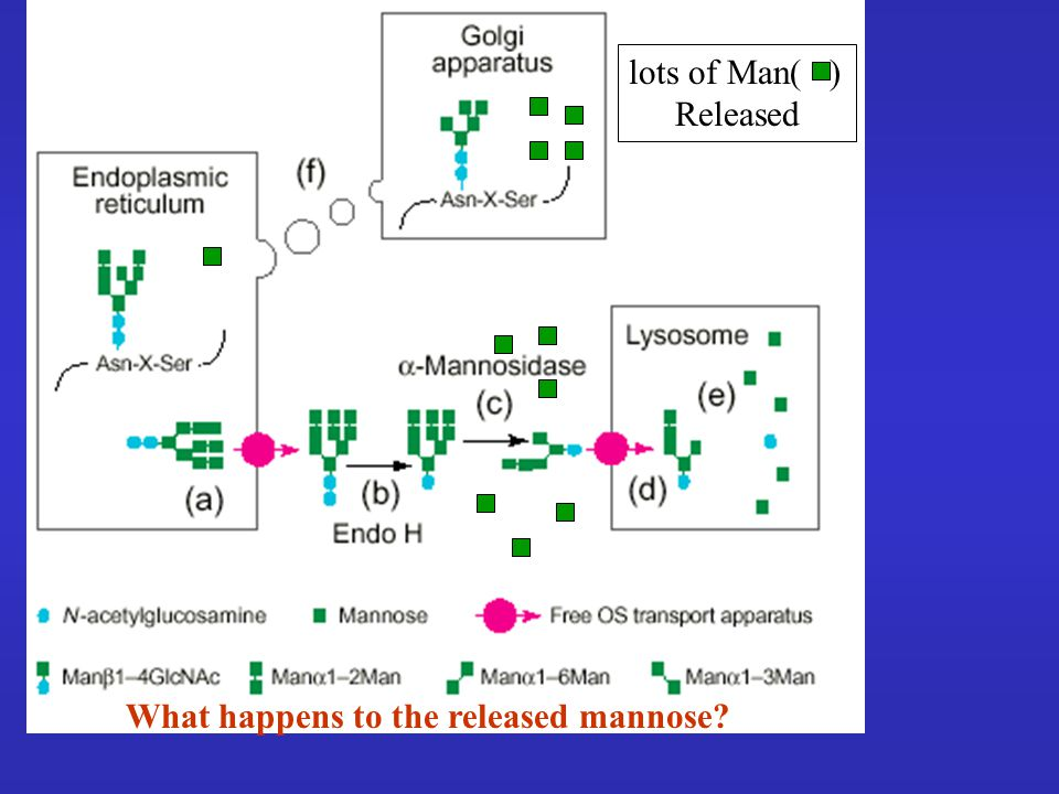 lots of Man( ) Released What happens to the released mannose?