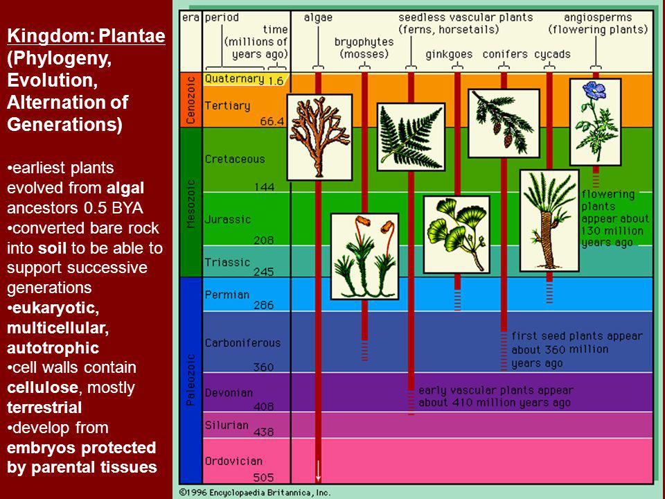 Kingdom: Plantae (Phylogeny, Evolution, Alternation of Generations) earliest plants evolved from algal ancestors 0.5 BYA converted bare rock into soil