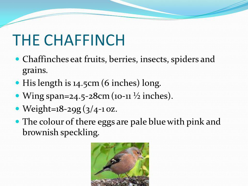 THE CHAFFINCH Chaffinches eat fruits, berries, insects, spiders and grains.