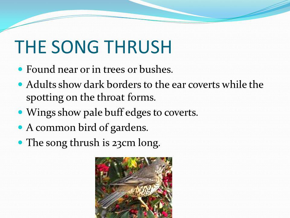 THE SONG THRUSH Found near or in trees or bushes.