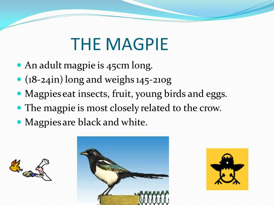 THE MAGPIE An adult magpie is 45cm long.