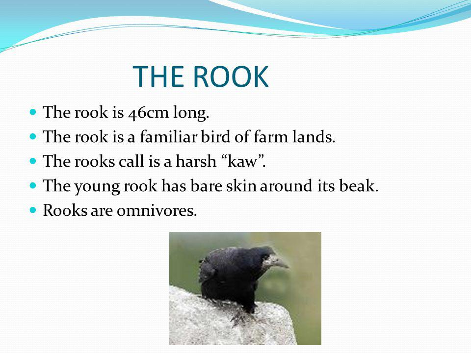 THE ROOK The rook is 46cm long. The rook is a familiar bird of farm lands.